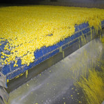 Corn Conveyor Belt